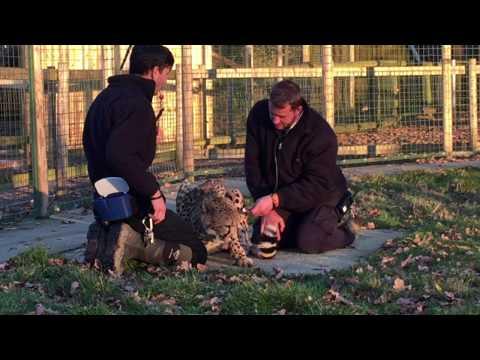 BCS - Giles Clark on International Cheetah Day