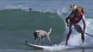 видео Сёрфинг для собак