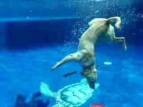 Wonder Dog Captain Retrieves Frisbees Underwater Youtube