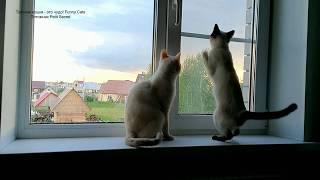 На закате дня два тайских кота на подоконнике! Тайские кошки - это чудо! Funny Cats