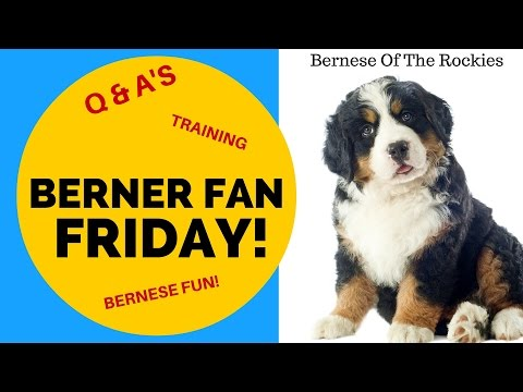 Crazy Puppy Training Idea  | Bernese Of The Rockies | [ep 3]