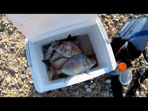 Bottom Fishing With CLAMS For PORGY(scup) - Long Island NY