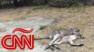 Millones de animales murieron tratando de huir de incendios en Australia