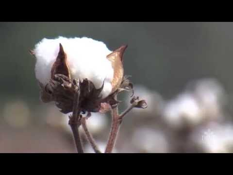 Growing Cotton at Home