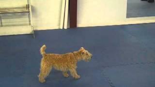 Lakeland Terrier  Wait  Tricks and Training