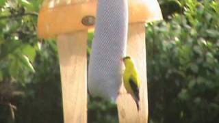 The GoldFinch (Short Documentary)