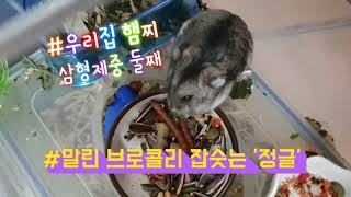 말린 브로콜리 간식 잡숫는 우리집 햄찌