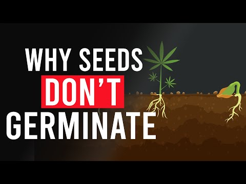 Here's why your Cannabis Seeds Haven't Germinated!