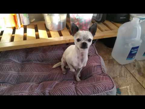 Well trained Chihuahua performing tricks