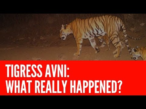 Tragic tale of a 'man-eating' tigress tells us so much about the climate crisis