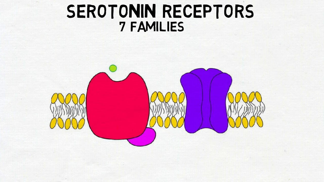 2-Minute Neuroscience: Serotonin