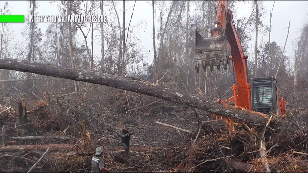 Нечеловеческое отчаяние: орангутан бросился на ковш экскаватора, спасая свой лес