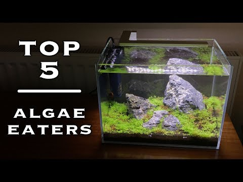 TOP 5 - Algae Eaters For Small Aquariums