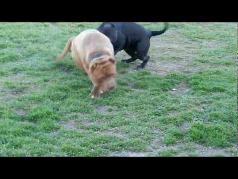 American Bandogs Mind Changing Kennel
