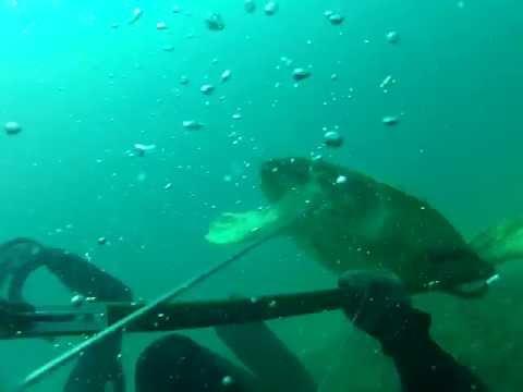 Turtle Mishap Spearfishing