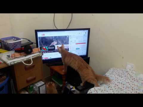 Cat Harry & Jack Watching & Catching Birds on TV