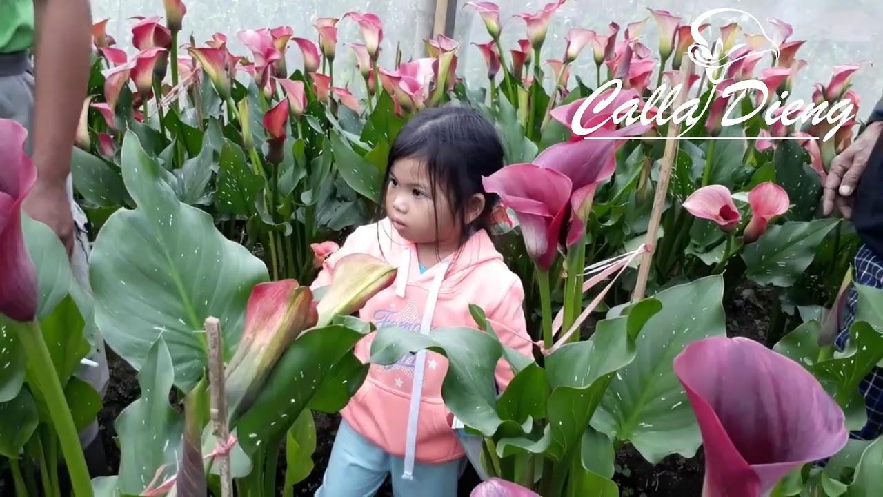 Cdvl19 Kebun Bunga Calladieng Bunga Calla Lily Aneka Warna Di Dieng Youtube