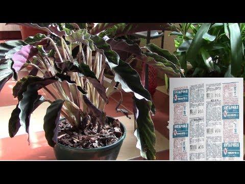Янтарная кислота и ослабленные растения.  Начинаю эксперимент с ослабленными растениями.
