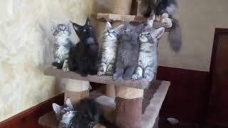 Банда котят Мейн Кунов в продаже .Тел 89614775173.Вотсап.Доставка по городам.