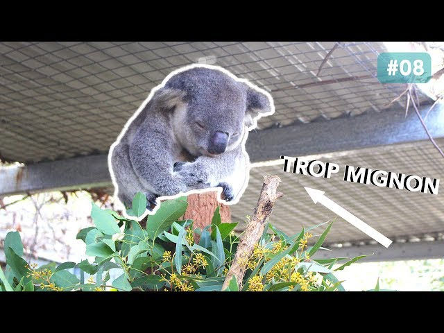 L'HOPITAL DES KOALAS A PORT MACQUARIE, AUSTRALIE