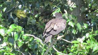 07/27/14 RHM Bald Eaglets Branching @ S 240 St & Russell Rd (Kent, Wa