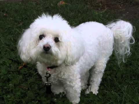 *-how-to-stop-bichon-frise-barking?-finally!