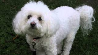 * How to stop bichon frise barking? Finally!