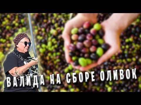 Как собирают оливки в греции видео