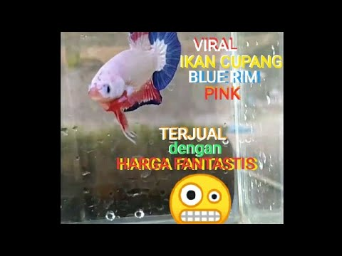 Ikan cupang BLUE RIM PINK yang lagi virall..! Di beli oleh ...