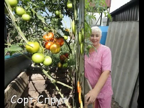видео: Томатные деревья на Алискиной Даче
