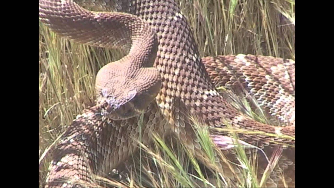 Red Diamond Rattlesnake Rattling