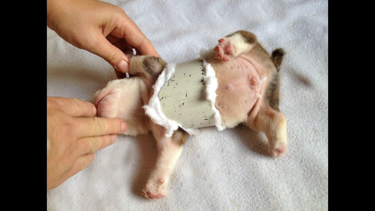Cute Baby Bulldogs Wallpaper English Bulldog Swimmer Puppy Syndrome Pectus Excavatum