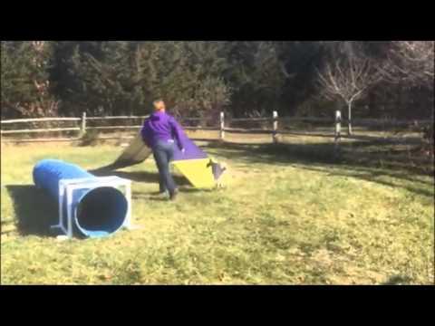 Bracco Italiano Ella agility training at 5 months