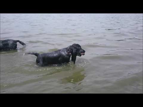 Alen Ashen Jonny Lee 4,5 months old - Retrieving in Water