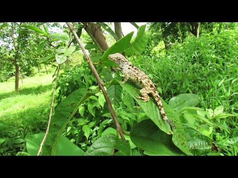Lichen anole (Anolis pentaprion)