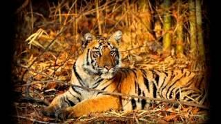 वाघ वाचवायला महाराष्ट्रचा ढाण्या वाघ लढतोय