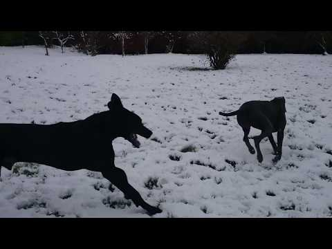 Black Great Dane And Blue Great Dane Running In The Snow -Black Leevindane Great Danes
