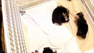 Yorkshire Terrier Puppies Just Having Fun In Boca Raton, South Florida