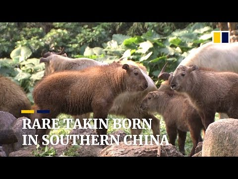 Rare takin calves born at southern China animal park