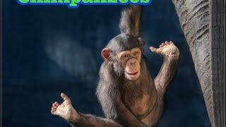 Chimpanzees Glenn Family チンパンジー家族ロスアンゼルス動物園 ボス...