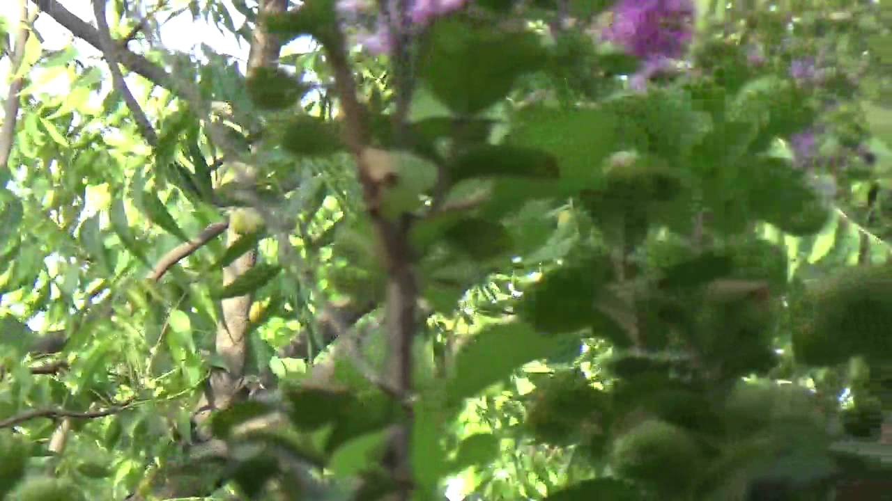Crape Myrtle or Saoni , Dhayti, Lagerstroemia indica,Purple color ...