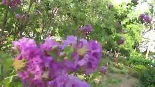 Crape Myrtle or Saoni , Dhayti, Lagerstroemia indica,Purple color flower