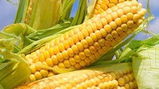 Кукуруза в открытом грунте от рассады до початков