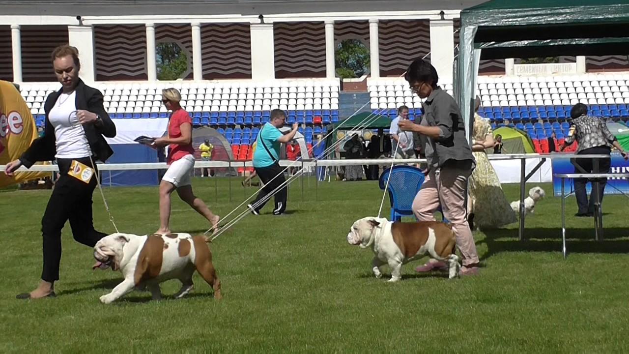 Продаются щенки Американского бульдога. - YouTube