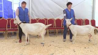 Козоматки зааненской породы. Оценка экстерьера. Вторая Всероссийская выставка молочного козоводства.