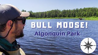 Algonquin Park Canoe Tŗip - 5 day solo | Part 2 | Moose & Fish!
