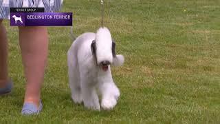 Bedlington Terriers | Breed Judging 2021