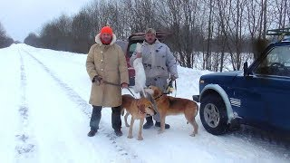 Охота зимой на зайца с  русскими гончими.