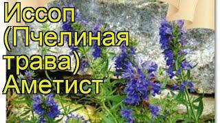 Иссоп Аметист. Краткий обзор, описание характеристик, где купить семена hyssopus officinalis Ametist
