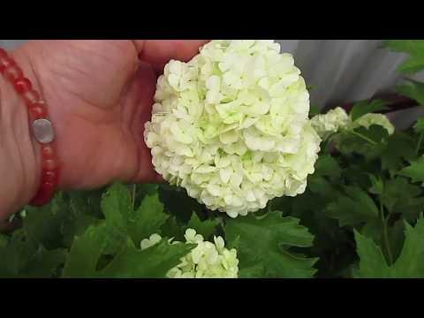 Первое цветение калины бульденеж.04.06.2019